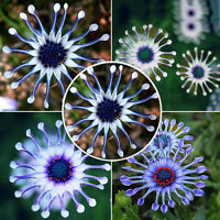 Rare Blue Daisy Plants Flower Seeds Exotic Ornamental Flowers Garden Plant 50PCS