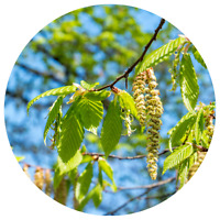 Hängebirke / Sandbirke / Betula pendula / 10 Samen / ideal als Bonsai