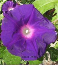 Akatsuki no Murasaki Japanese Morning Glory - 7 Seeds - ipomoea Nil Deep Purple