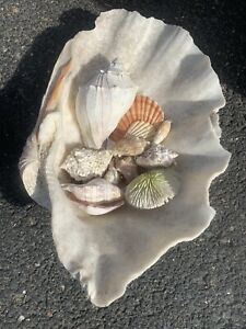 Real Giant Clam Shell Lot - 11 in. X 17 in. INCLUDES ALL - Decor - Real