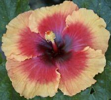 """Brontosaurus Tropical Hibiscus - Plant in 4.5"""" pot"""