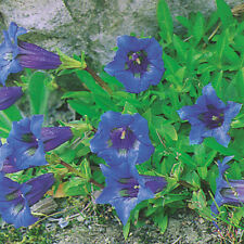 Kings Seeds - Gentiana Acaulis - 125 Seeds