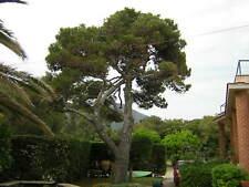 1 pianta PINUS HALEPENSIS alveolo forestale Pino d'Aleppo pino mediterraneo