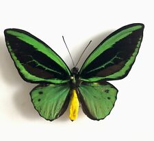 Ornithoptera Priamus Teucrus Couple Biak A1