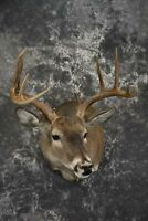 Texas Whitetail shoulder taxidermy mount for sale SKU 1840