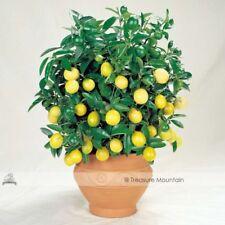 Rare Lemon Bonsai Tree 20 seeds indoor/outdoor Garden Free Shipping Lowest price