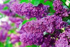 50pcs Lilac Flower Tree Seeds Shrub Perennial Flower Ornamental Plant for Home