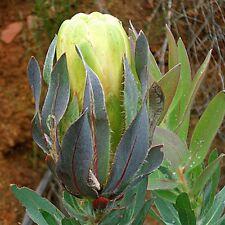 PROTEA coronata Green Sugarbush Seeds (B 72)