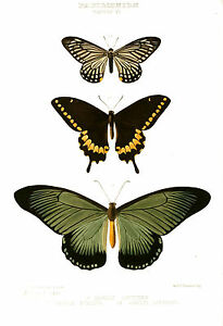"""Vintage print poster Butterfly large art for glass framed canvas painting 32"""""""