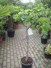 FEIGENBAUM  blaue Früchte!  Ficus carica 170cm  Feige  kräftiger Stamm