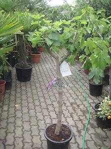 FEIGENBAUM  170cm  Ficus carica  französische Sorten bis -21°C