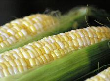 Sweetcorn Seeds - PEACHES & CREAM - Delicious Bicolor Sweet Corn - 5 lbs Seeds