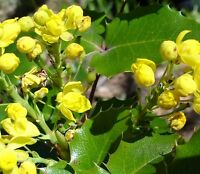 MAHONIA  -A FRAGRANT YELLOW FLOWERING SHRUB. ORNAMENTAL 25 SEEDS
