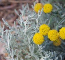 GREY SANTOLINA chamaecyparissus anti-moth potpourri plant in 100mm pot