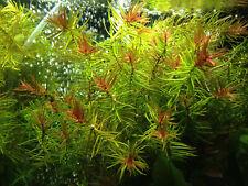 Blood Star Grass Didiplis Diantra - Live Aquarium Plants Bunch Fish Tanks