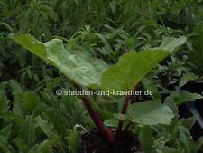 Rhabarber (Rheum rhabarbarum) Pflanze im 9cmTopf