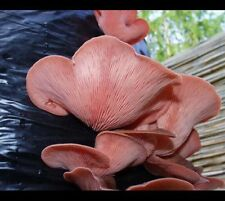 Semillas de ostra setas Rosa Espora