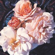 Buff Beauty Bush Rose - 5.5L Pot  Hybrid Tea Rose Garden Patio Plant
