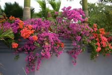 100pcs Bougainvillea Seeds Multicolor Bonsai Plant Flower Creepers Pot Colorful