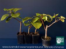 ACTINIDIA CHINENSIS Vq 7x7x10 cm 4 plantas (3 las hembras y 1 masculino) 4 Kiwi