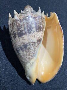 Cymbiola imperialis Volute Gorgeous Sea Shell