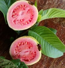 Hawaiian Pink Guava seeds x 10
