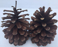 "2 PINE CONES BIG LARGE Natural 7 1/2"" - 8"" H ~ 4 1/2"" - 5"" W ~ Crafts ~ Wreaths"
