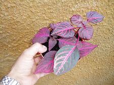 Planta Iresine /hojas de sangre.ENVIO Agencia 24/ 48 HORAS