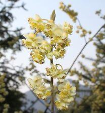 Huile essentielle de Litsee citronnée verveine exotique Litsea cubeba 30 ml