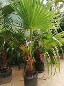 Washingtonia robusta, Petticoat-Palme