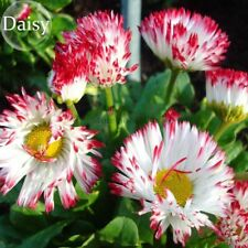 Bellis Perennis White Red Daisy Annual Flowers 50 Seeds Rare Bloom Garden Plant