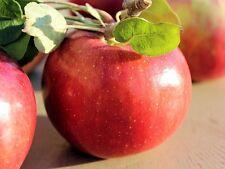 Cortland Apple Tree Plant x5 Seeds. Grow Your Own! USA Grown Organic! 🍎🌱🌳🇺🇸