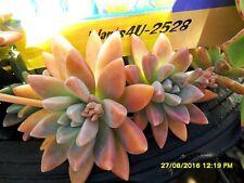 Garden Succulents Sedeveria cv. 'Starburst' Plants Offsets 6-7 cm width x 4