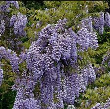 Wisteria floribunda Caroline (Lavender/ Lilac Blue flowers)12litre, 6ft inc. pot