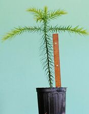 Araucaria angustifolia seedlings: Endangered rare conifer