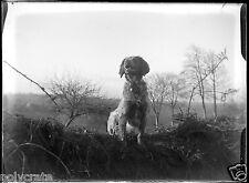 Chien de chasse assis champ talus - négatif photo verre photo - an. 1910 1920