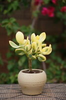 CG:Crassula Ovata Hummel Sunset Golden Jade money tree variegated Succulents
