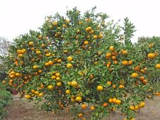 SATSUMA MANDARIN TREE, 4 CUTTINGS 7-8 INCHES