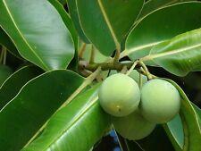 Olio Di Calophylle Inophylle Tamanu Vegetale Vergine Puro 1 Litro