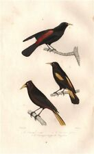 CACIQUES. Red-rumped, Yellow-rumped & Yellow-winged Caciques. BUFFON 1837