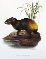 Impression Affiche Histoire Naturelle l'Agouti Dasyprocta aguti