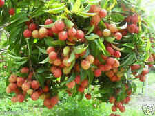 LICHI MUZAFFAR (BIHAR) LIVE PLANT, OFP-309,   1 feet height with poly pack,