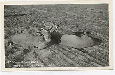 (0522) 1940's PHOTO P/C IDAHO WHITE GTIL BUCKS IN DEATH LOCK RPPC