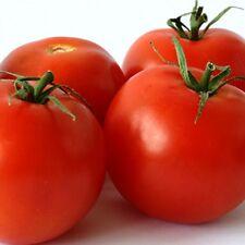 6 x GROSSE LISSE IMPROVED TOMATO high-yield large fruit plants - seedling punnet