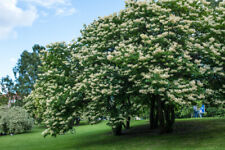 Japanese Lilac Tree, Syringa pekinensis - Live Bare Root Plant