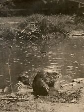 New York ~ Bronx Park Zoo ~ Beaver Lodge Animal Stereoview 7832 keystone