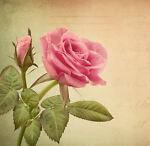 Land of Roses UK