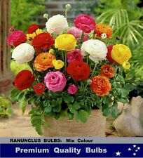 SPRING FLOWER BULBS-  RANUNCULUS  Mix  Colours-  20x  BULBS