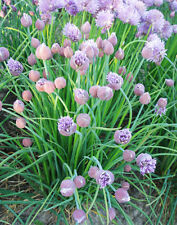 Chive Seed 50 Seeds Allium Schoenoprasum Alliaceae Aromatic Plant Herb Seed D019