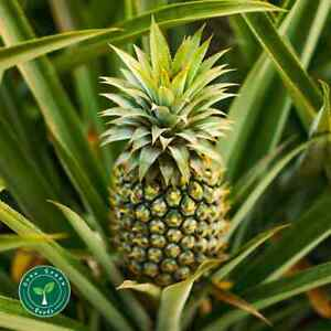 10 seeds of Pineapple - ANANAS COMOSUS + 5 seeds of Sunflower